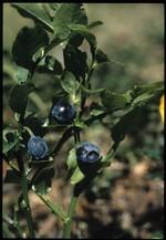 breuva (la plante) (fonds : Poletti)