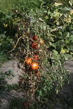 tomatta ( archivio Lo Gnalèi - foto: Bruno Domaine )