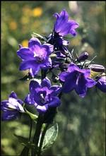 fleur di colet (fonds : Poletti)