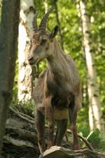èhagne (archives Parc Animalier d'Introd)