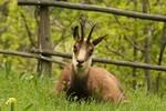 tsamot (archivi Parc animalier d'Introd)